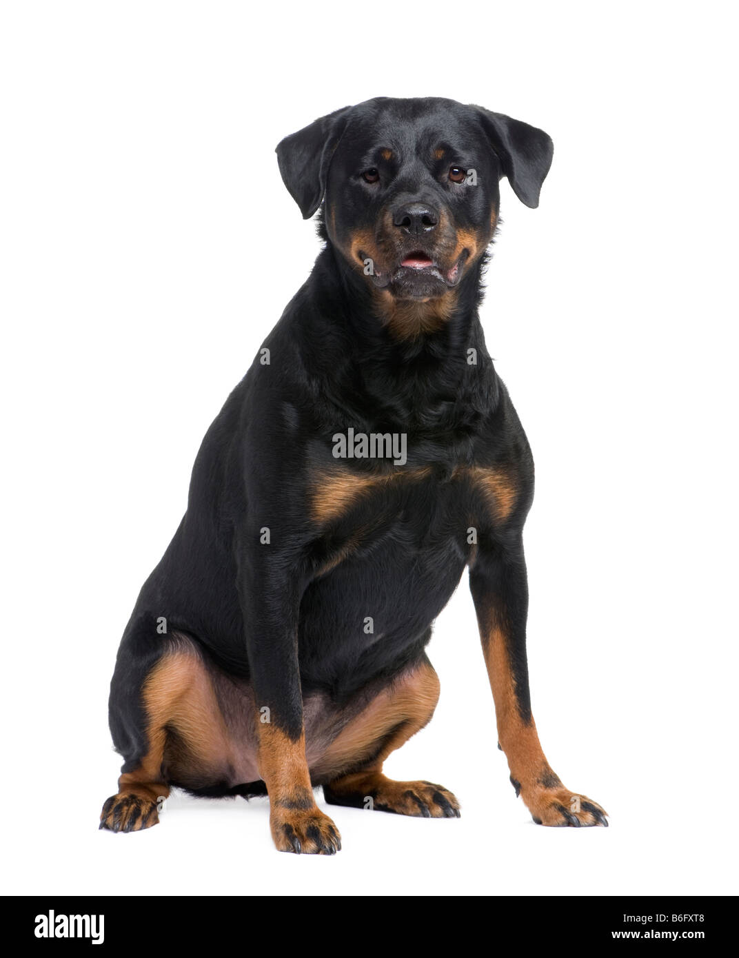 rottweiler 3 years in front of a white background - Stock Image