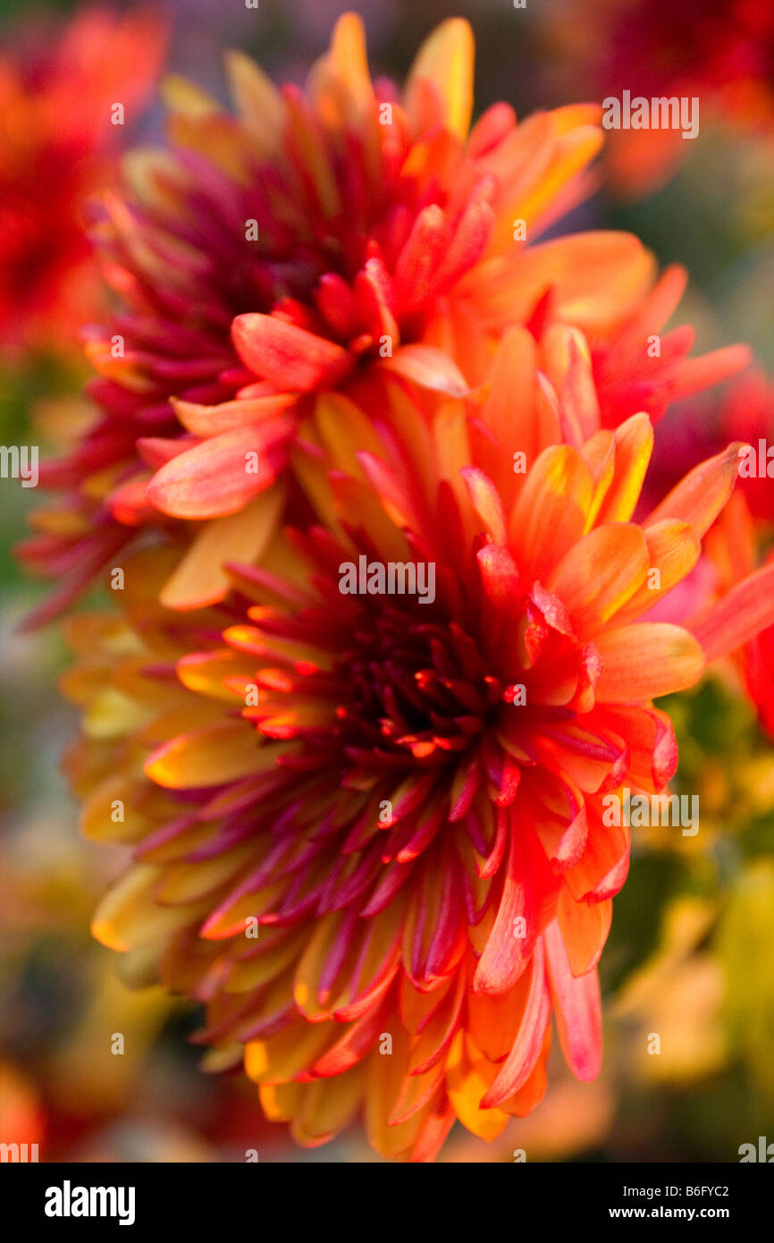 Chrysanthemum, colored in orange and yellow Stock Photo