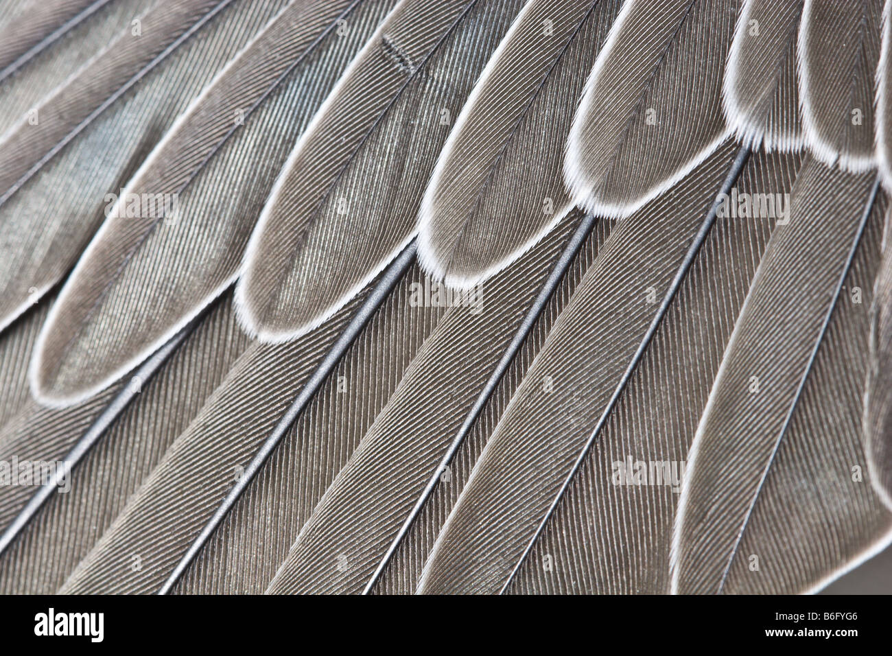 Feathers in a wing of the martin - Stock Image