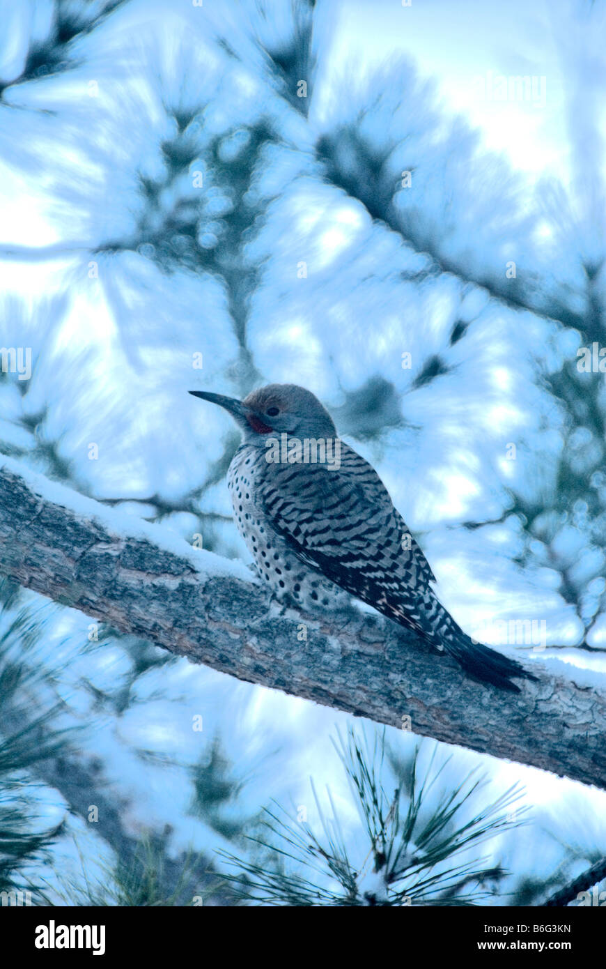 Male Red-Shafted or Northern Flicker (Colaptes auratus cafer) on snowy morning in Ponderosa pine tree, Colorado - Stock Image