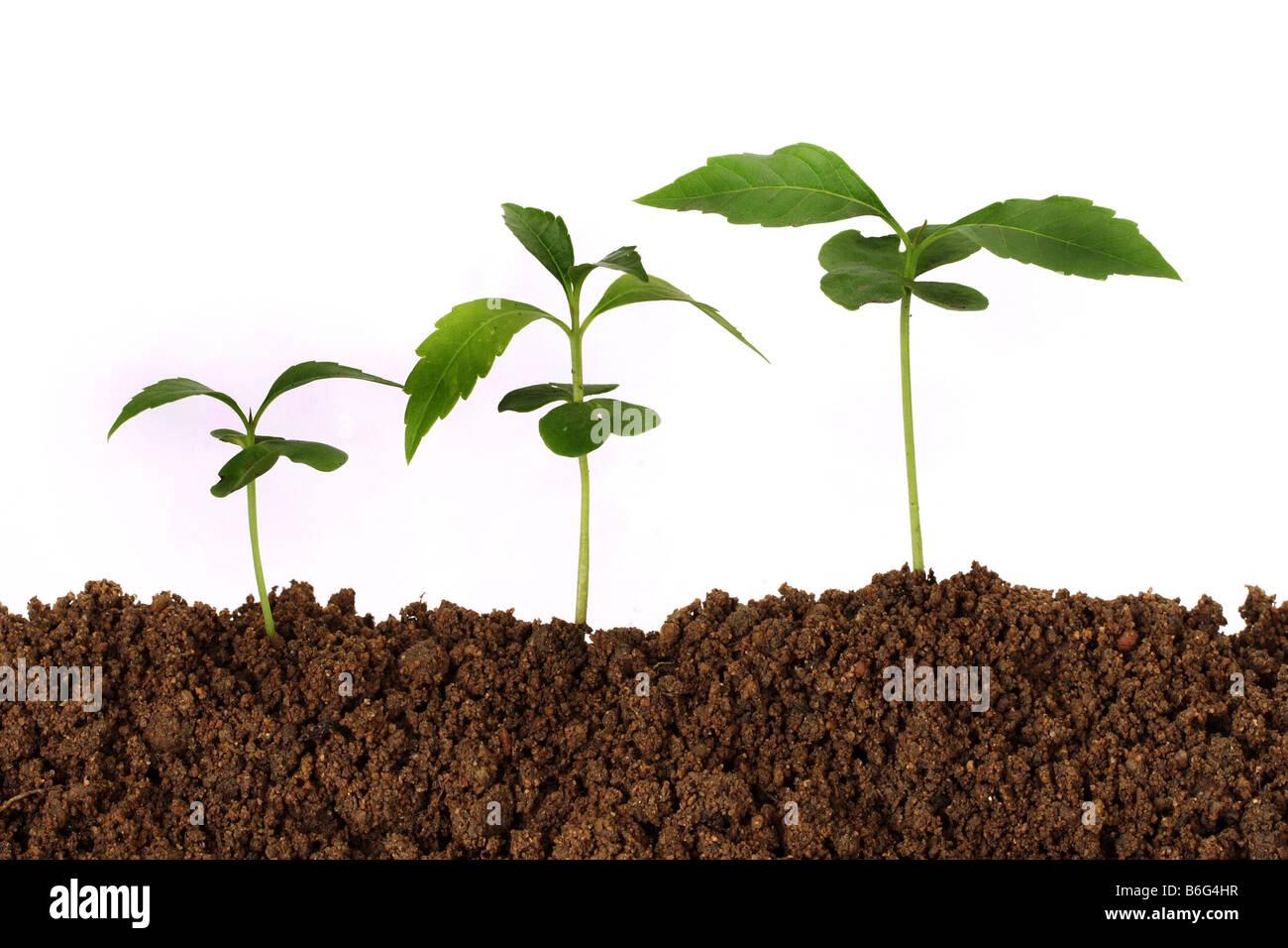 Three saplings growing from soil Stock Photo