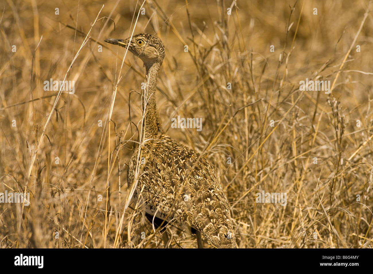 wildlife wild Red-crested red crested korhaan perfectly camouflaged bush bushland disguise disguised hidden hide - Stock Image