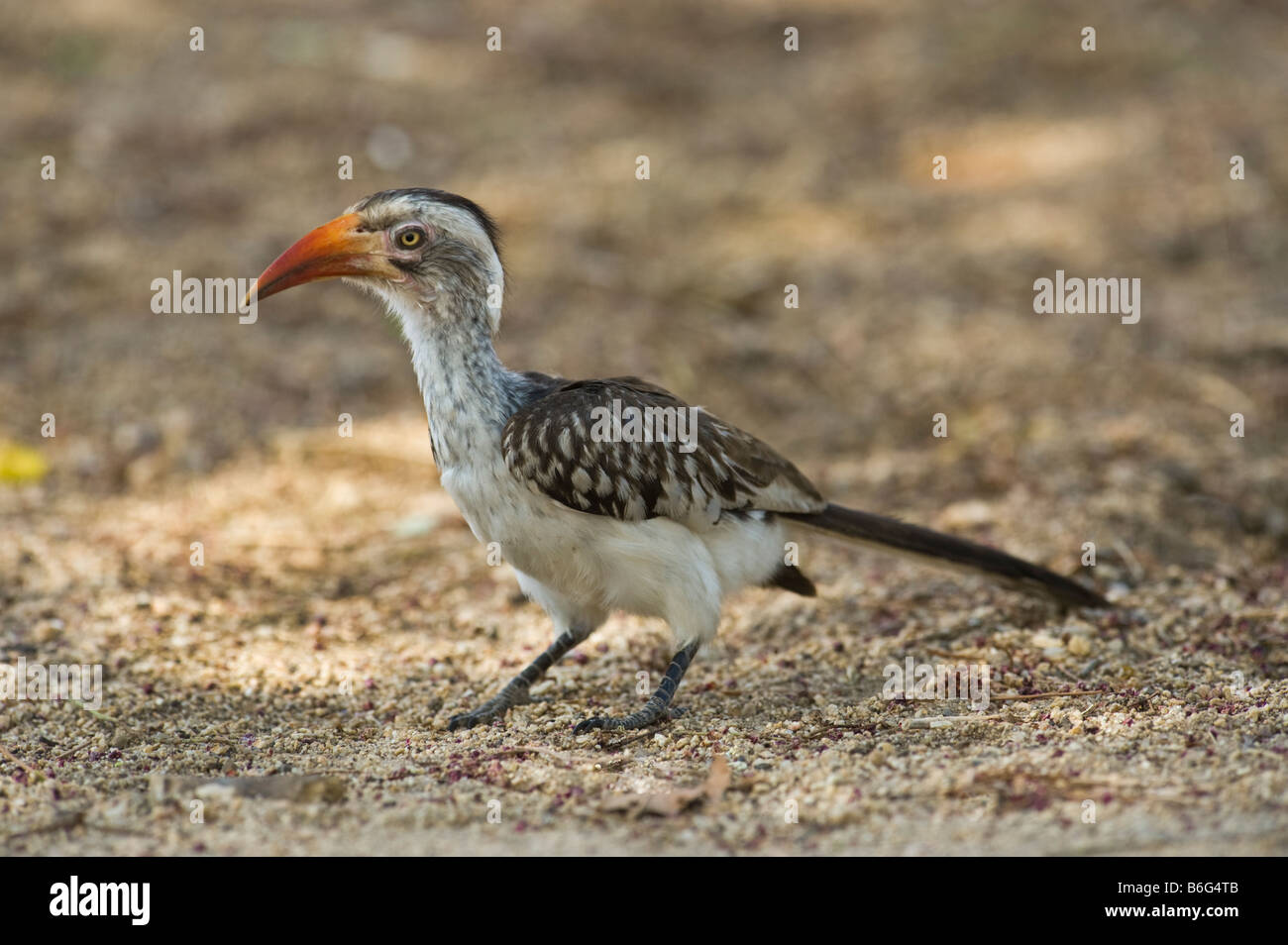 Southern red-billed Hornbill red bill billed Tockus Tockus erythrorhynchus  south-Afrika south africa Bird big Tockus - Stock Image