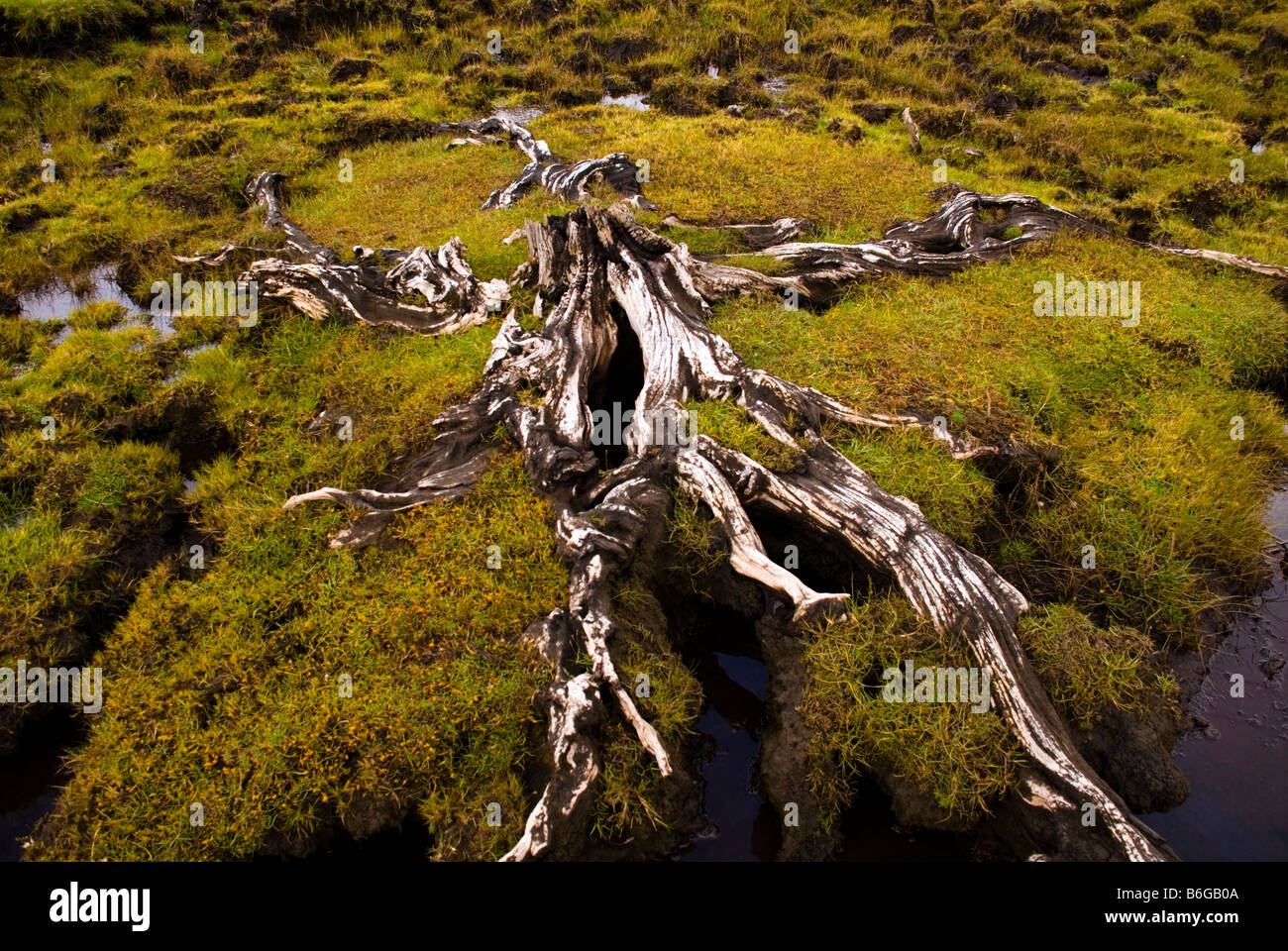 Ardara County Donegal Ireland Bog oak tree roots - Stock Image