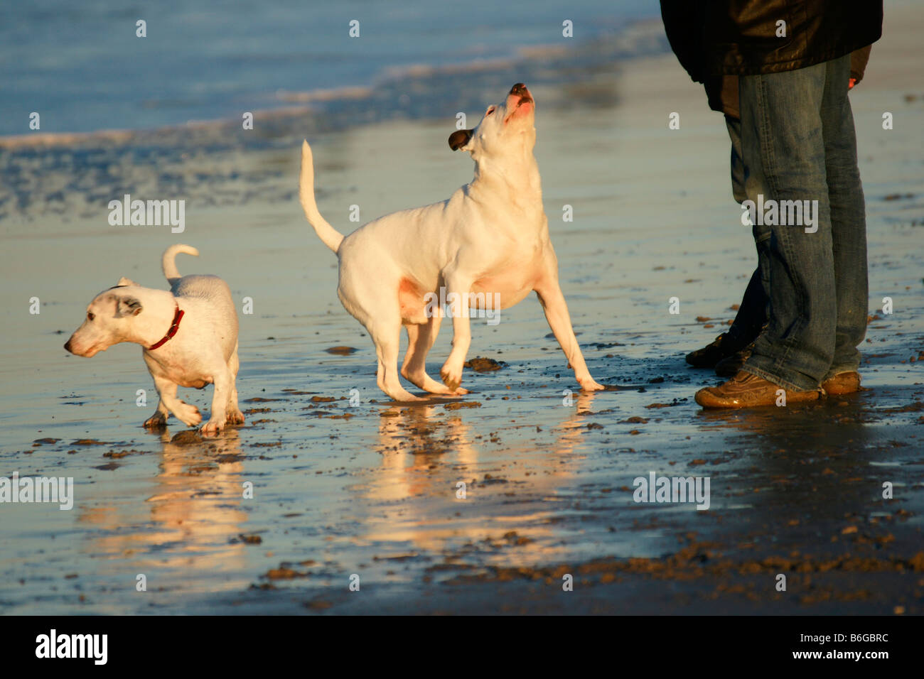 Small dogs walking waiting playing man legs on sand sea beach escaping water wave awaiting vigilant order - Stock Image