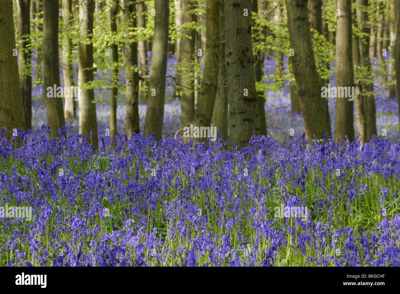 Bluebells Endymion non scripta in Beech woodland in Spring Taken May Ashridge Hertfordshire UK - Stock Image