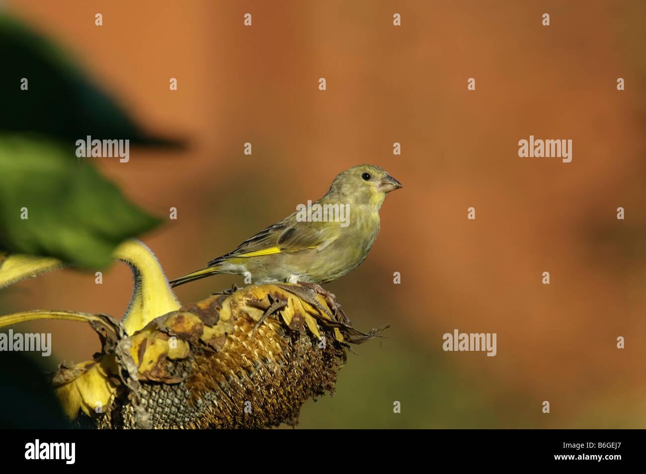 Greenfinch Carduelis chloris passerine - Stock Image