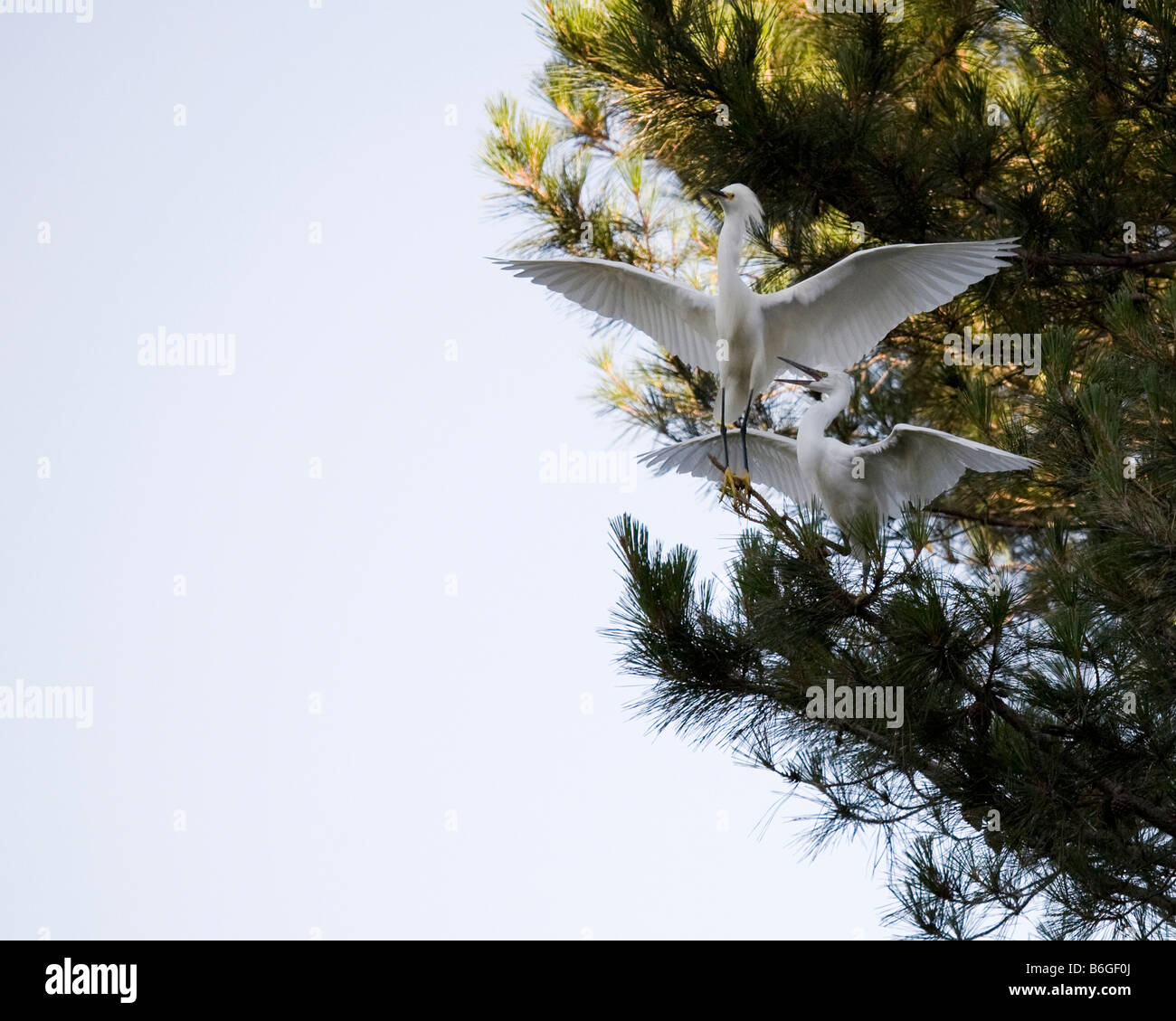 A snowy egret parent flies away to escape its aggresssively hungry young. - Stock Image