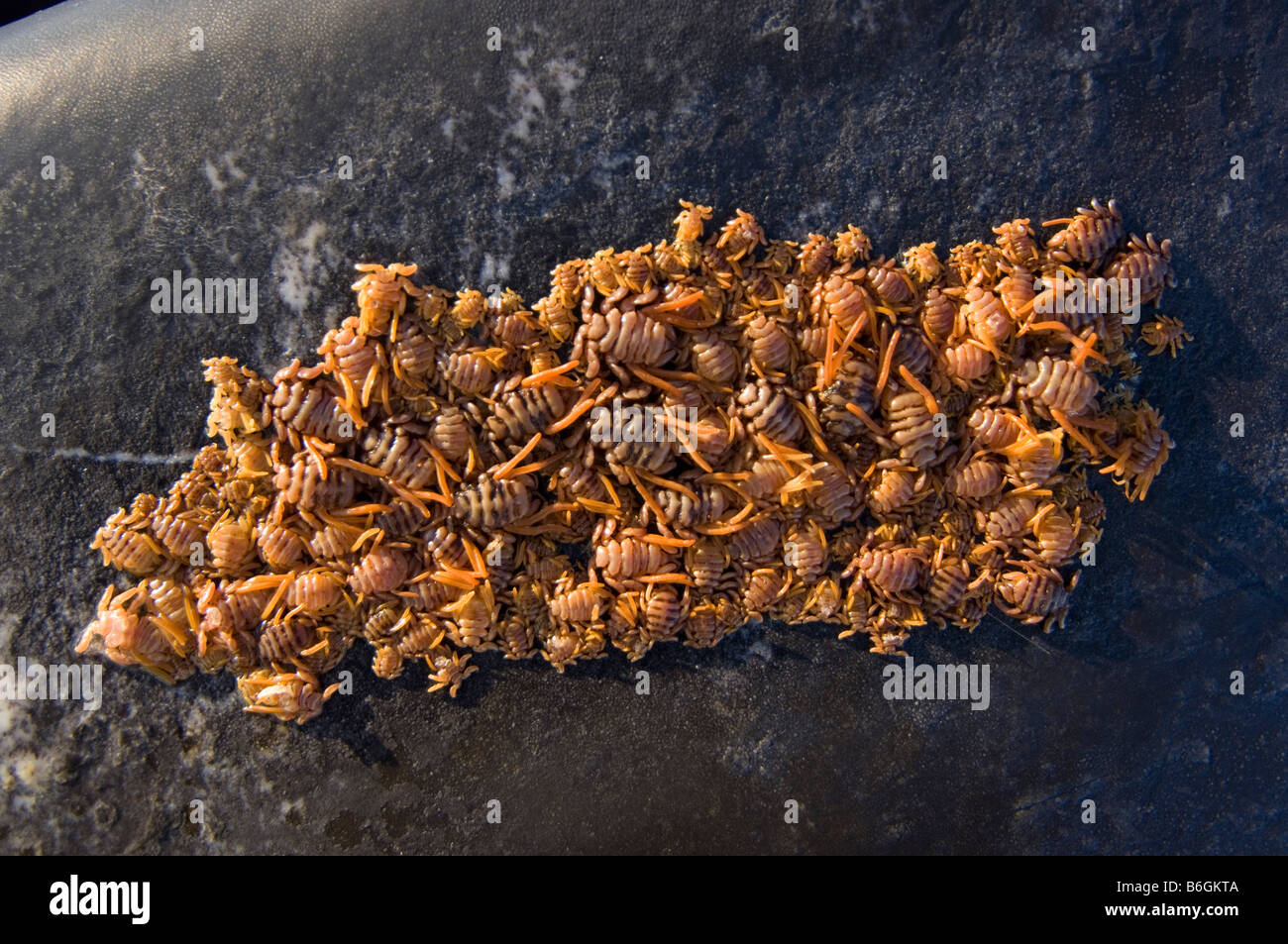 Sea Lice Stock Photos Sea Lice Stock Images Alamy