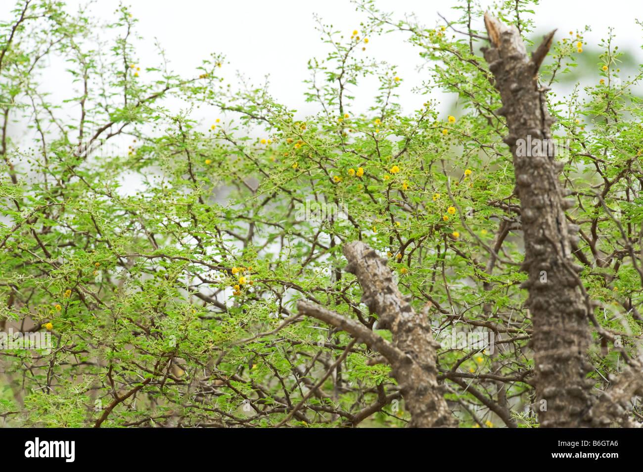 Africa acacia tree bark stock photos africa acacia tree bark stock south africa acacia tree acaciatree bush bushland with new green light leaves flowering spring spine mightylinksfo