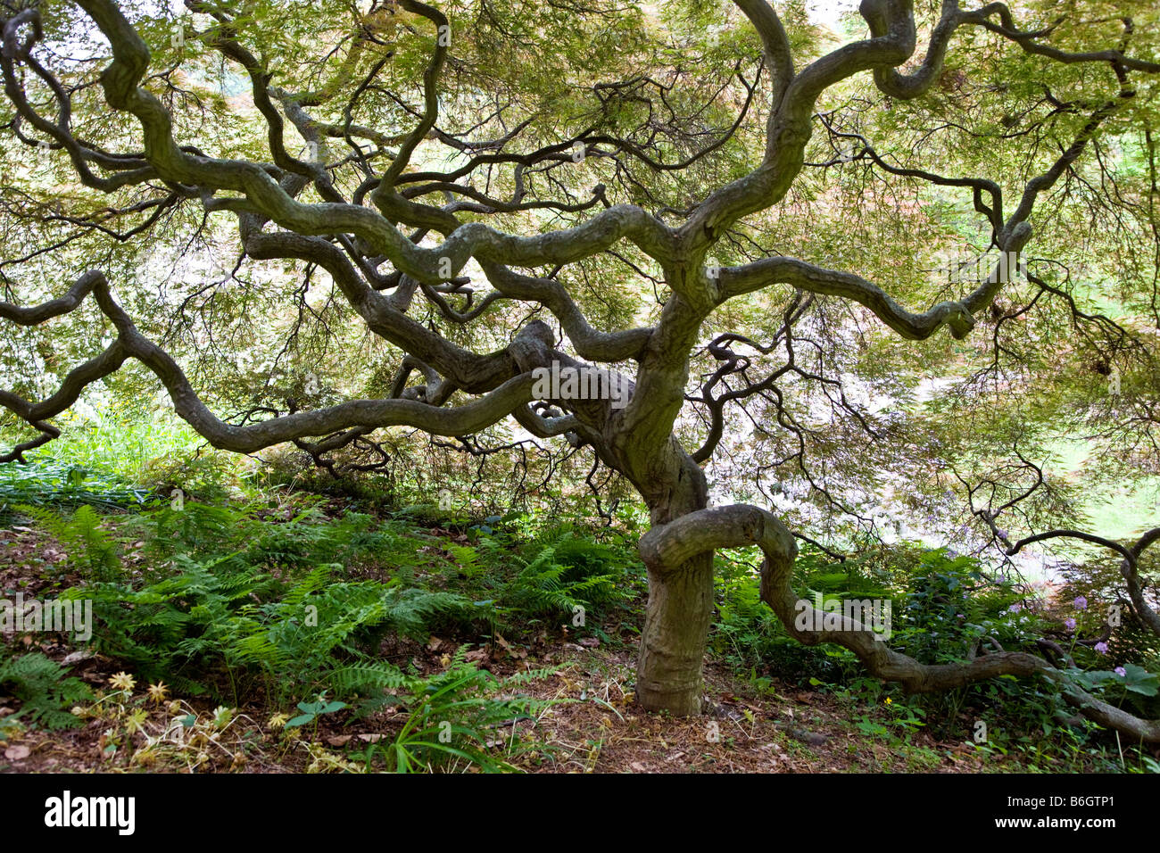 Japanese Maple tree Winterthur Museum Country Estate - Stock Image