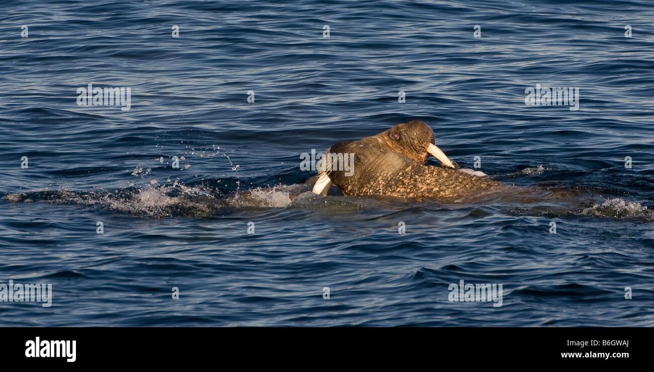 Walrus - Stock Image