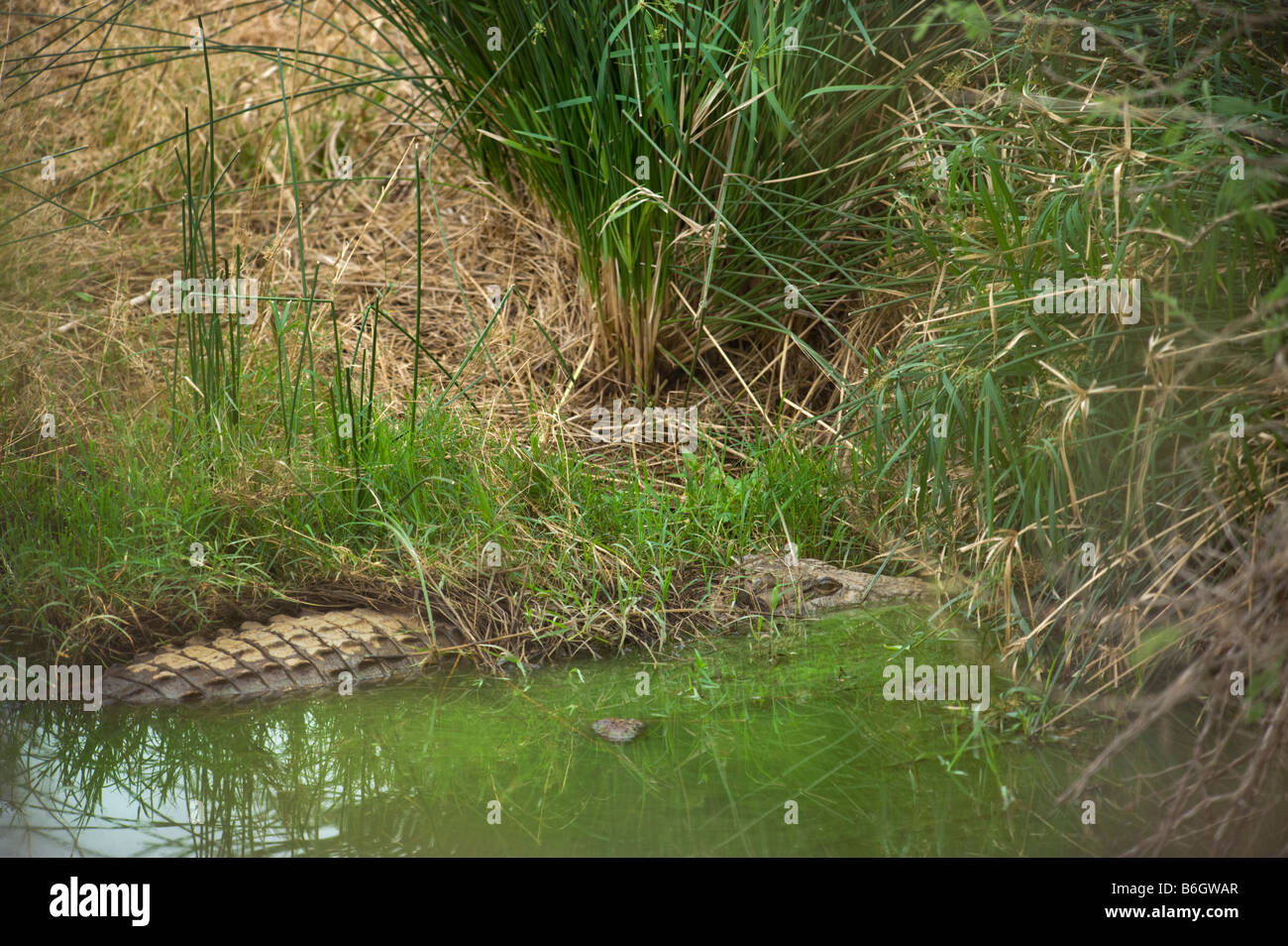 south-Afrika south africa well disguised camouflage crocodile crocodylus niloticus lying at waterhole covered with - Stock Image