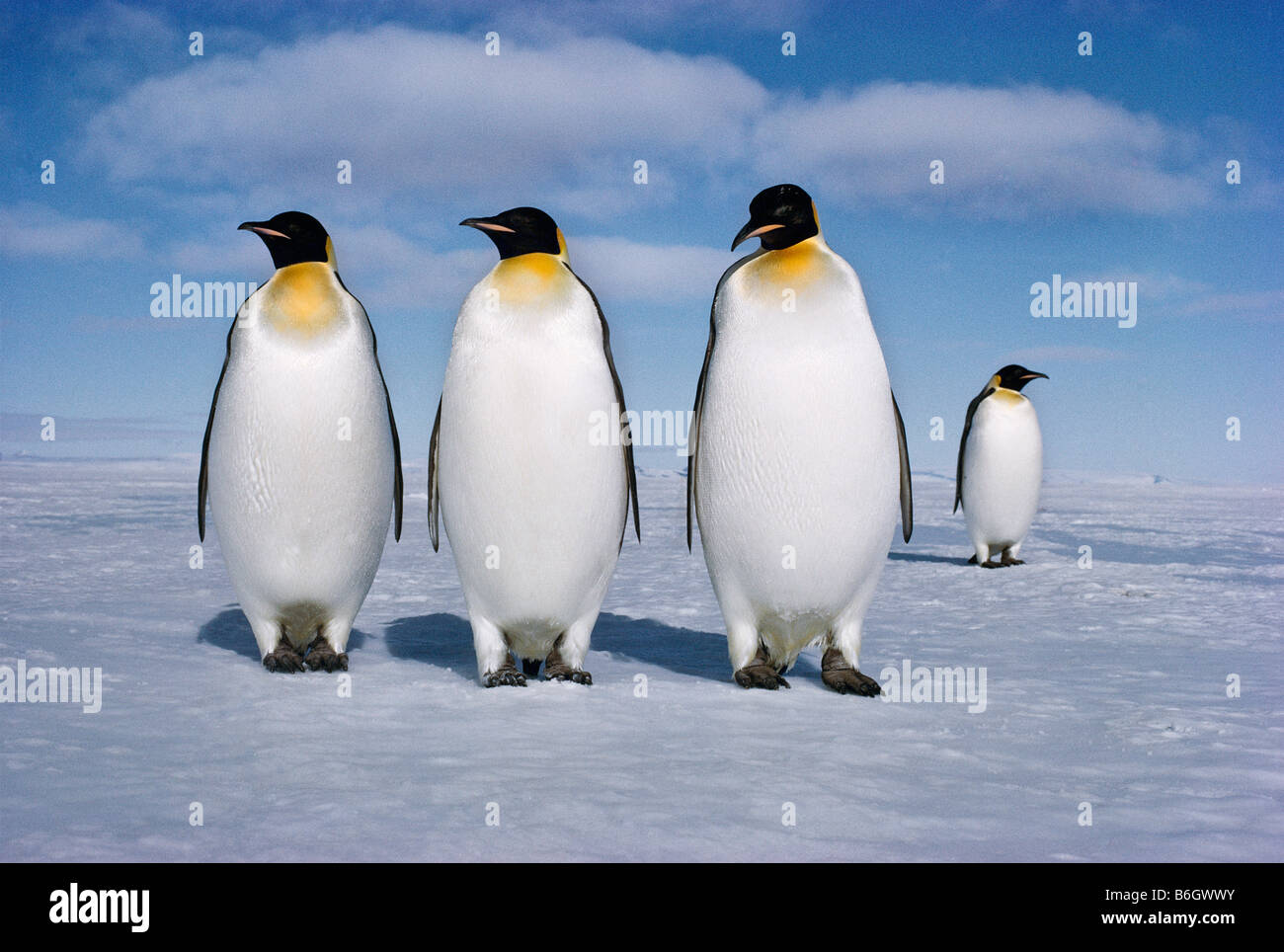 Aptenodytes forsteri, Emperor penguins, The male Emperor penguin holds the single egg on its feet for two winter - Stock Image