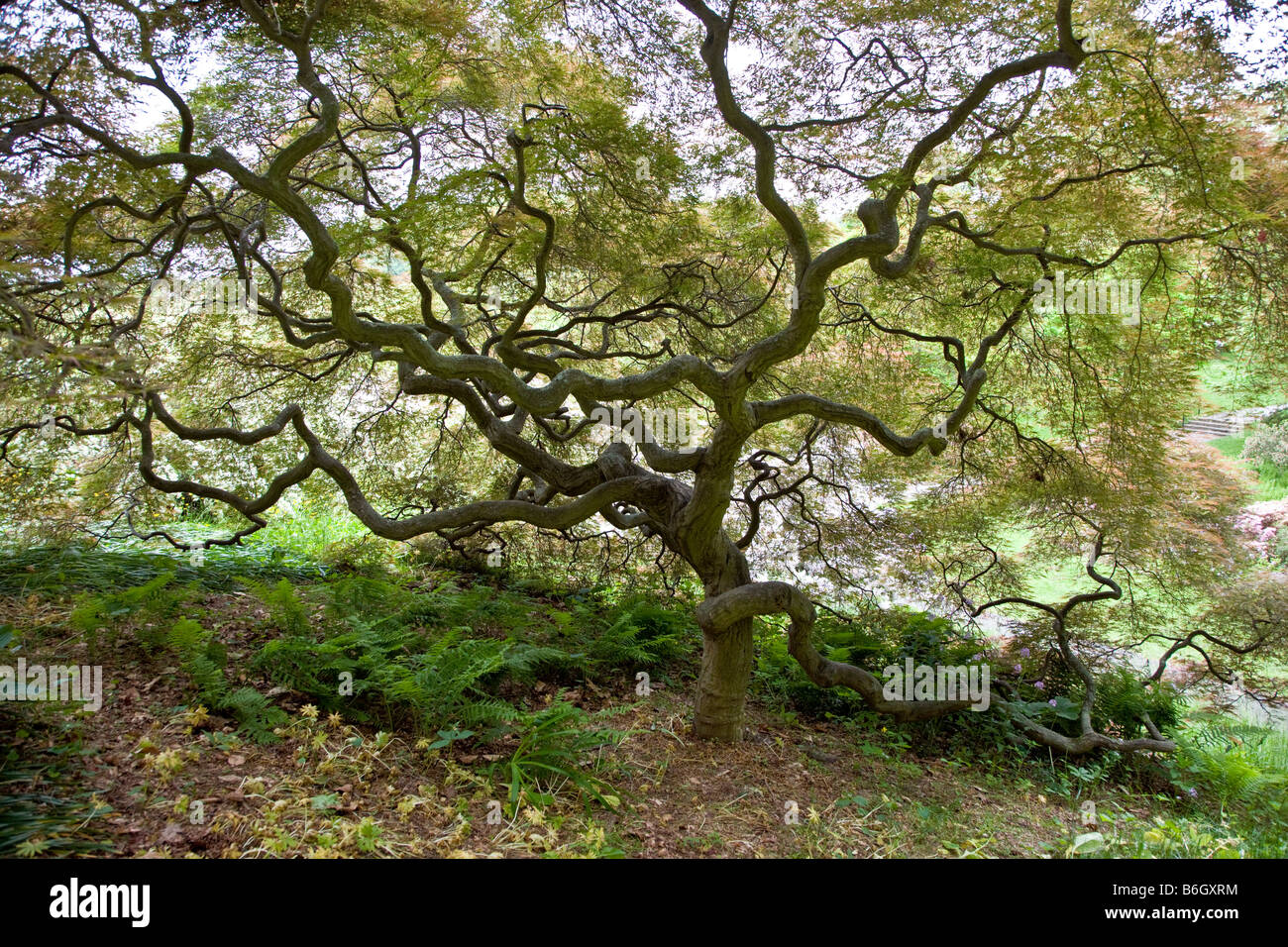 Japanese Maple tree, Winterthur Museum & Country Estate - Stock Image