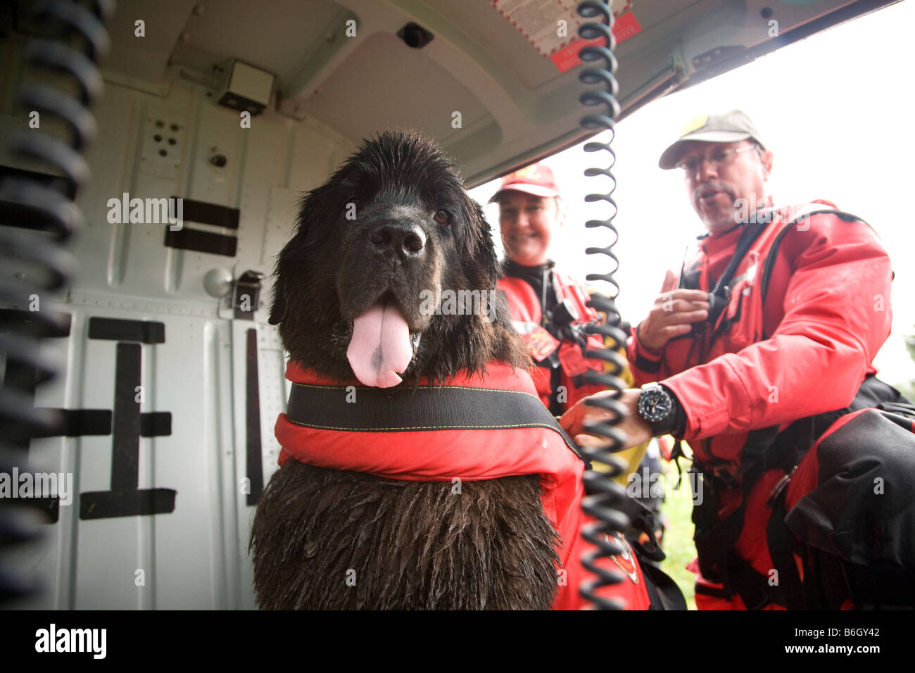 Newfoundland dogs training to jump from a helicopter into water to save a drowning person Location Italy - Stock Image