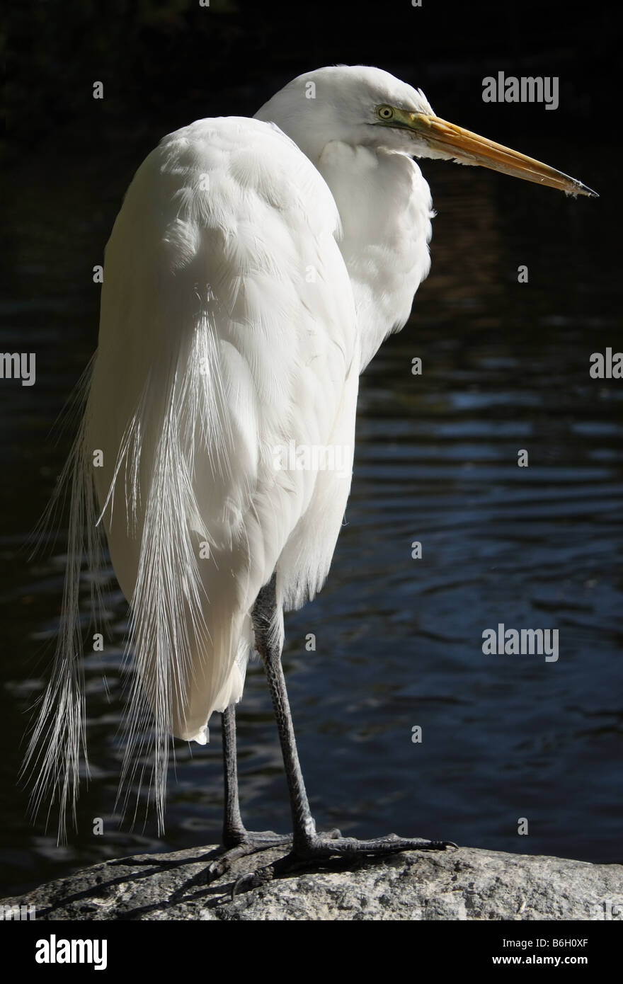 Stock photo of a Great White Egret.The Great Egret Ardea alba also known as the Great White Egret or is a wading - Stock Image