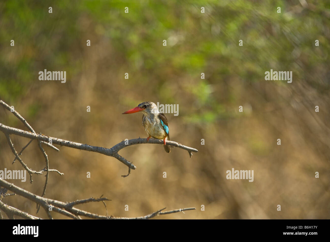 Brown-hooded kingfisher Halcyon albiventris bird Halcyonidae Southern Africa sitting on branch plain background - Stock Image