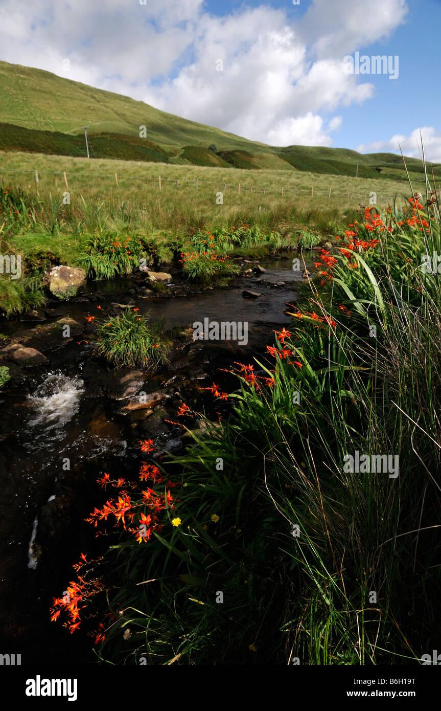 Connemara red montbretia wildflower wild flowers nonnative river stream benna beola mountain blue sky county galway - Stock Image