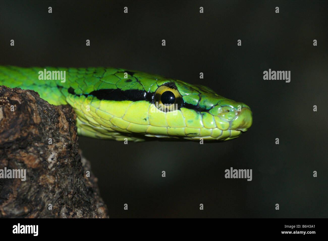 Elaphe  Rhadinophis frenata Rein Snake - Stock Image