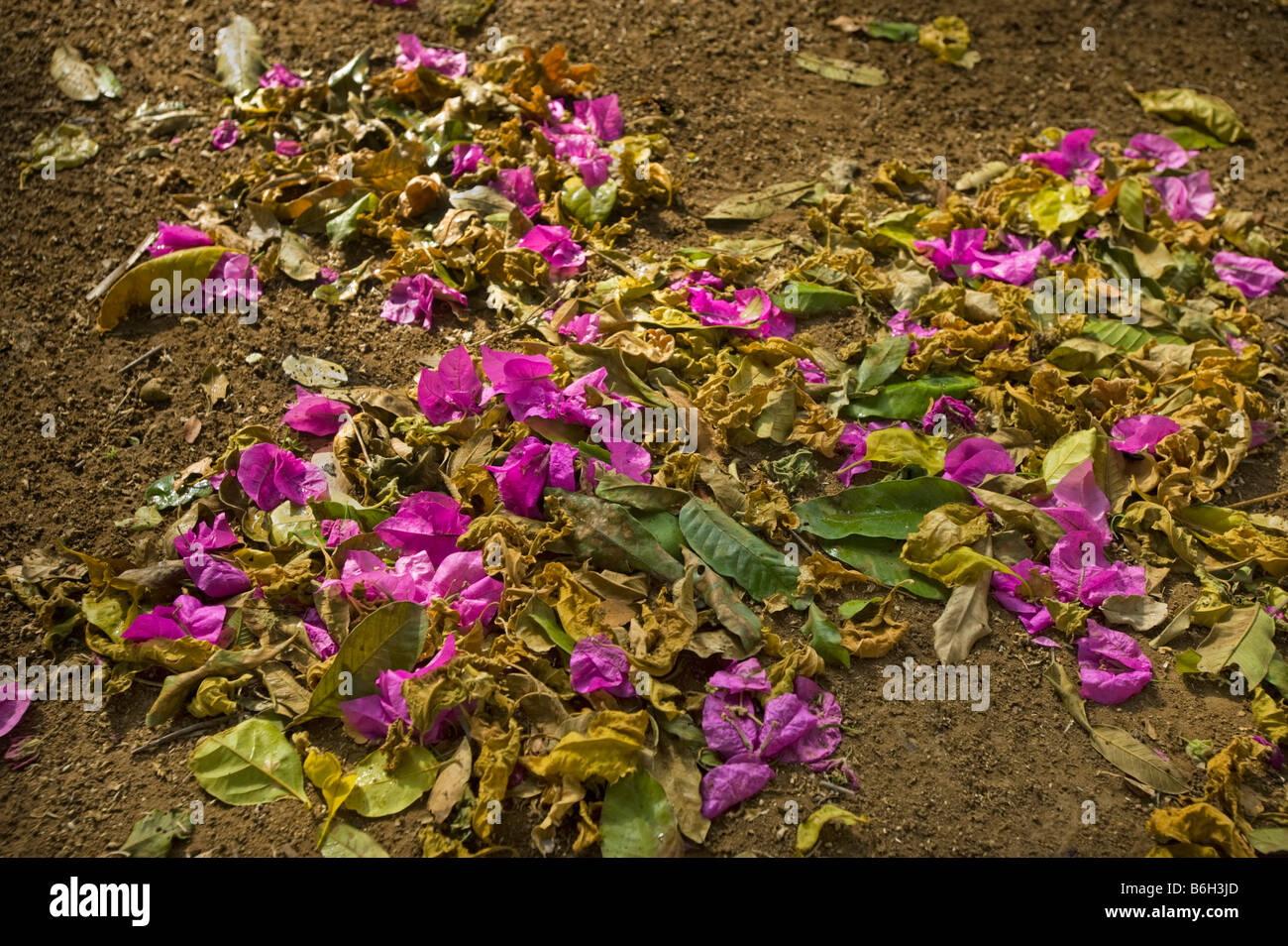 morning impression red pink lila lilac Flor bloom blossom flower blossoms of Bougainvillea on land floor ground - Stock Image