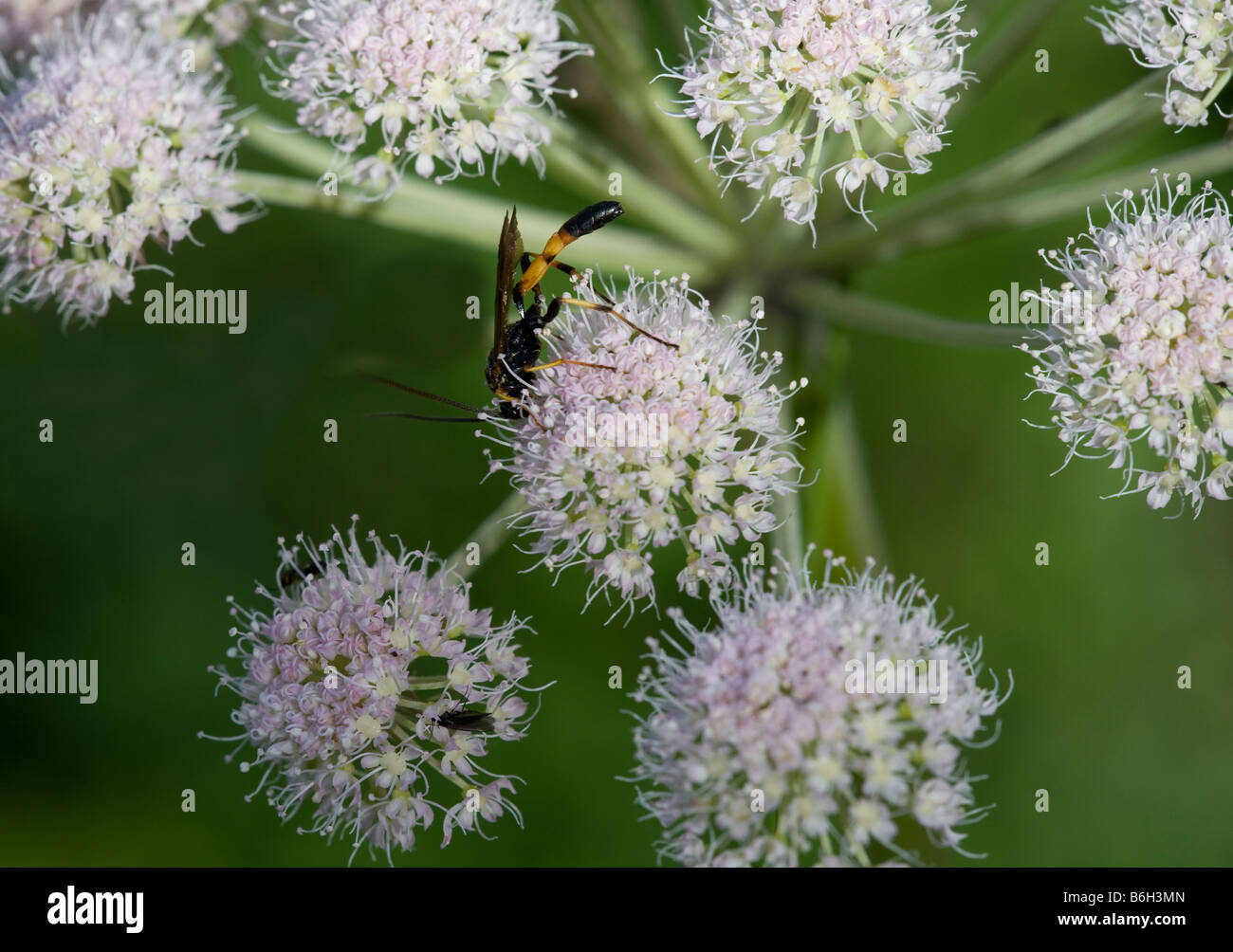 Hymenoptera on Angelica sylvestris Stock Photo