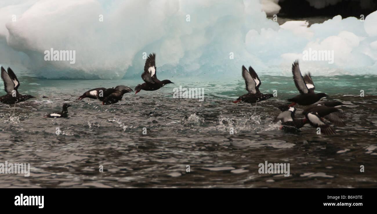Black guillemots - Stock Image
