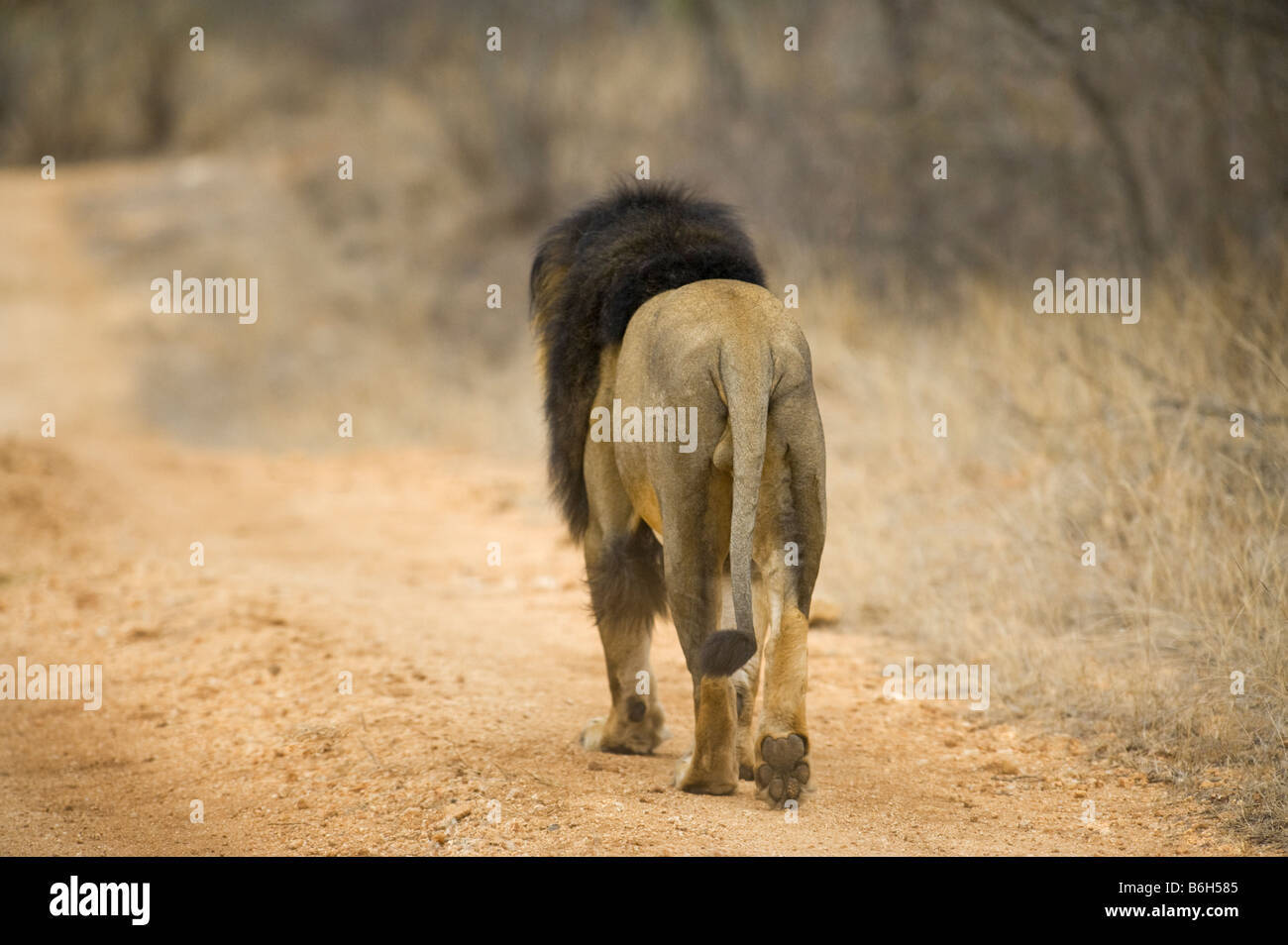 wildlife wild  lion male going away backside footprint ball of foot way road panthera leon south-Afrika south africa - Stock Image
