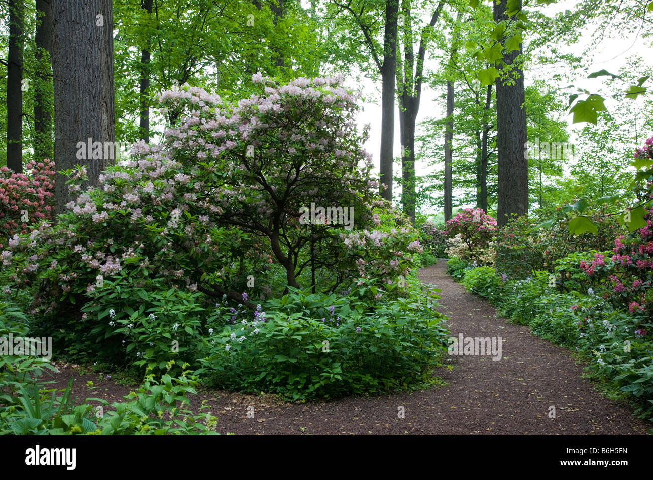 Rhododendron, Winterthur Museum & Country Estates - Stock Image