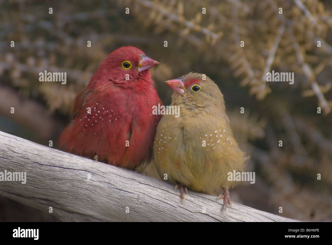 Red-billed Firefinch pair 'Lagonosticta senegala' Stock Photo