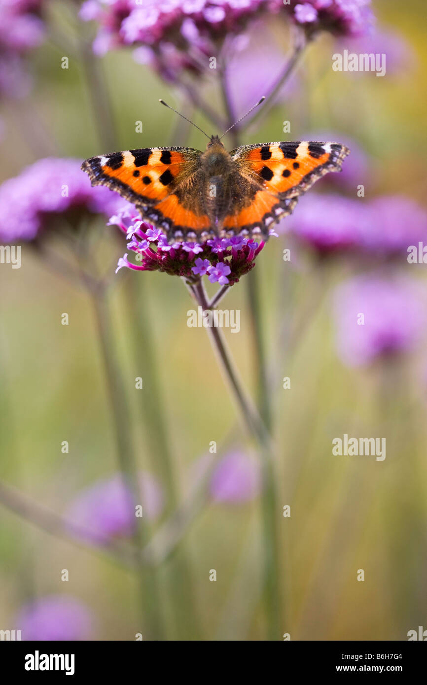 Small Tortoiseshell Butterfly on verbena - Stock Image