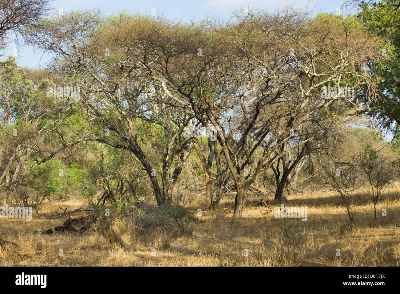 superb wonderful south-africa Bush bushland landscape ACACIA trees ACACIATREE bush bushland wild wilderness knobthorn - Stock Image
