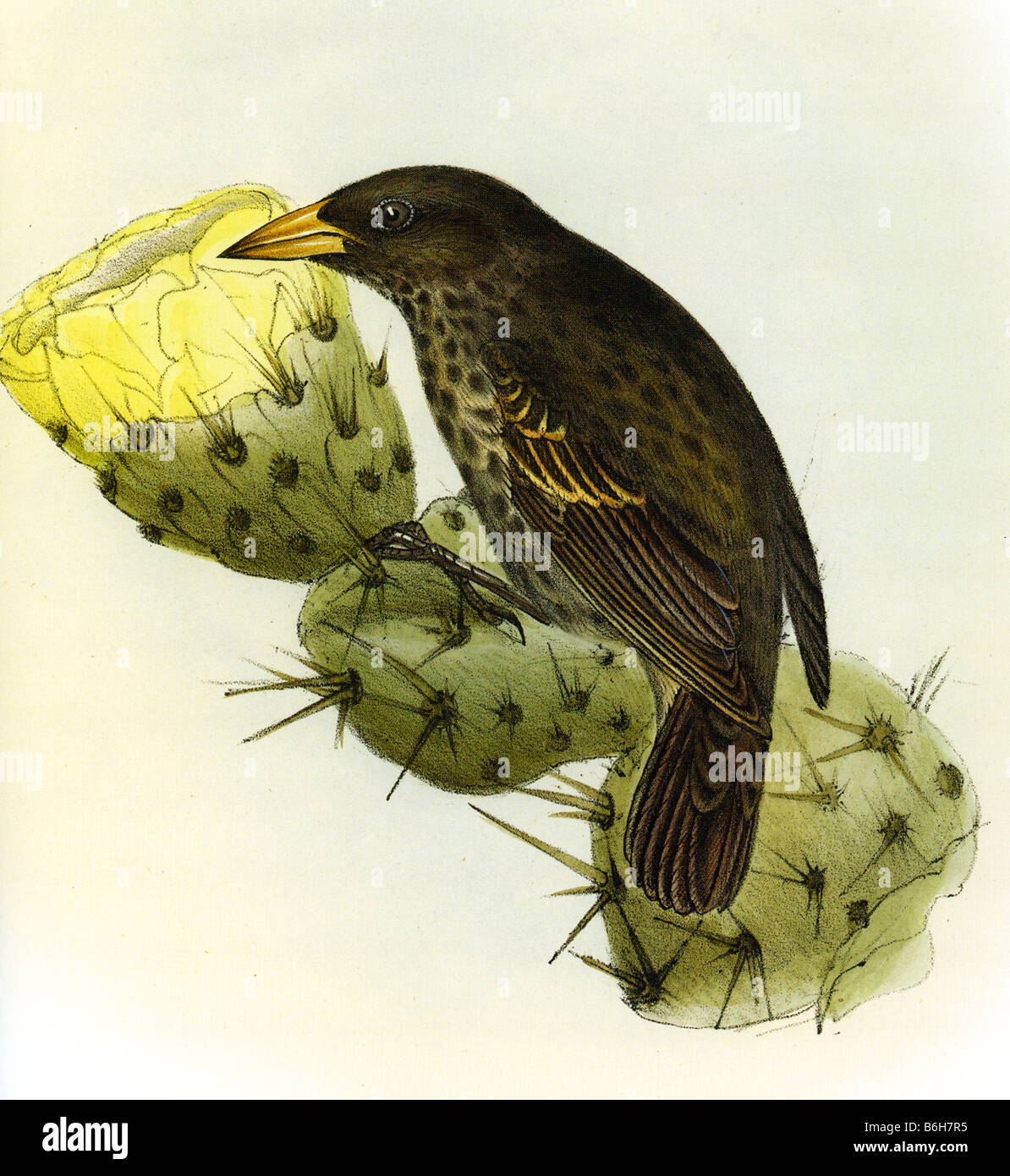 THE ZOOLOGY OF THE VOYAGE OF THE HMS BEAGLE illustration of a Galapagos Finch by Elizabeth Gould - Stock Image