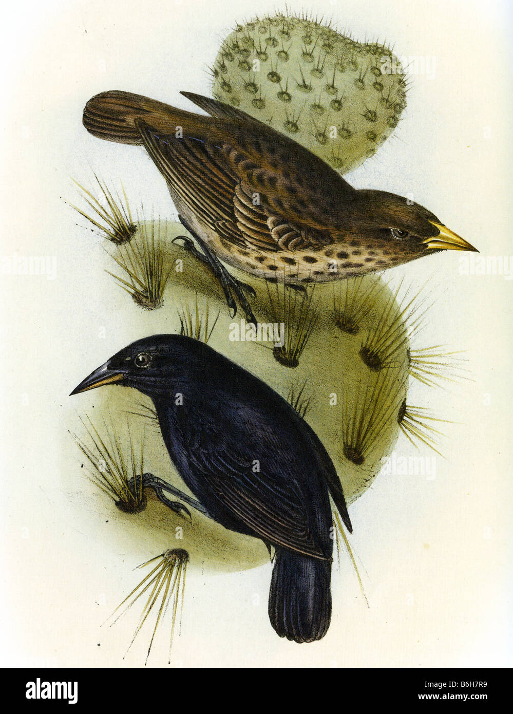 THE ZOOLOGY OF THE VOYAGE OF HMS BEAGLE Illustration of a pair of Cactus Finches by Elizabeth Gould - Stock Image