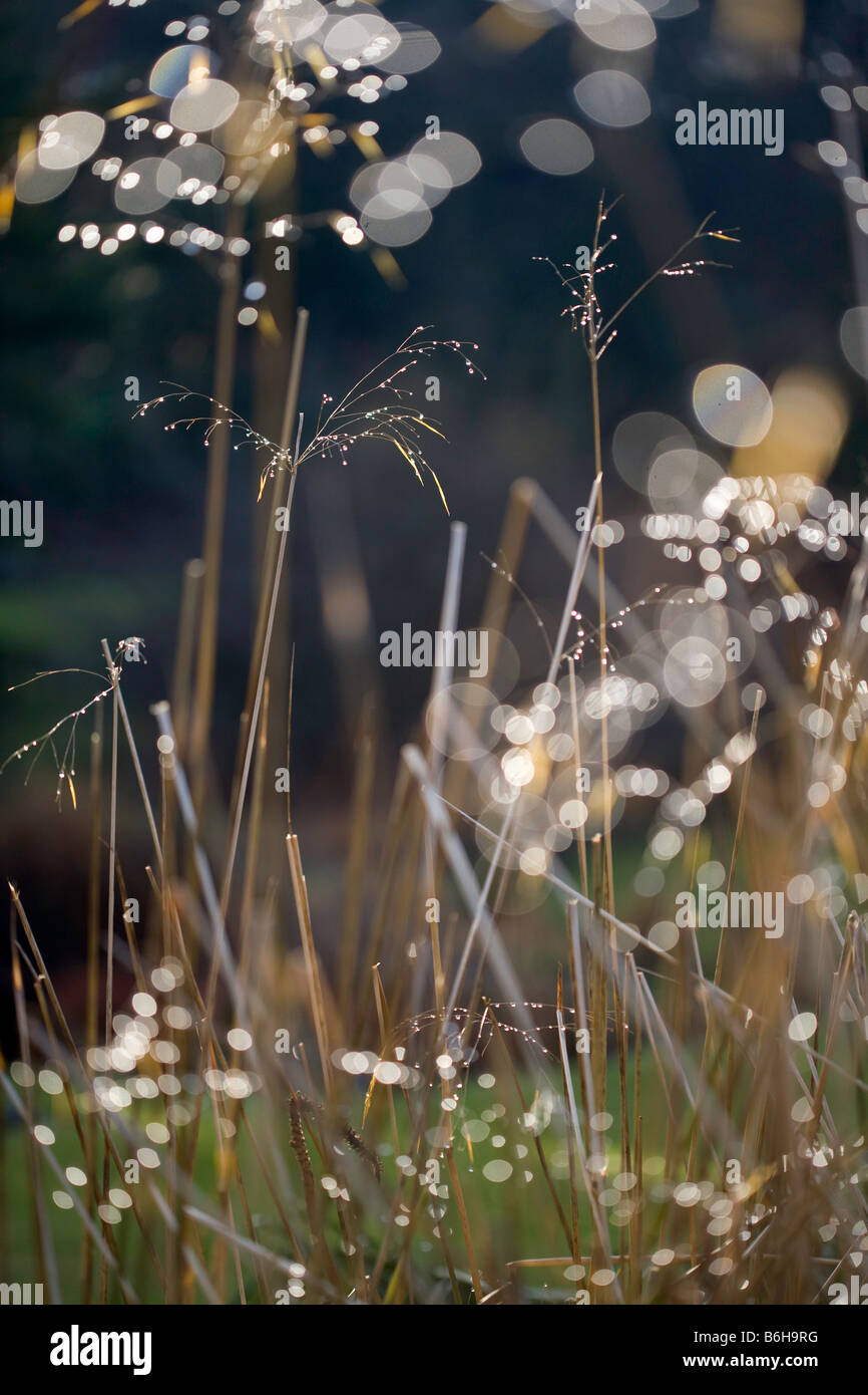 Stipa Gigantea 'Gold Fontaene' in low winter sun - Stock Image