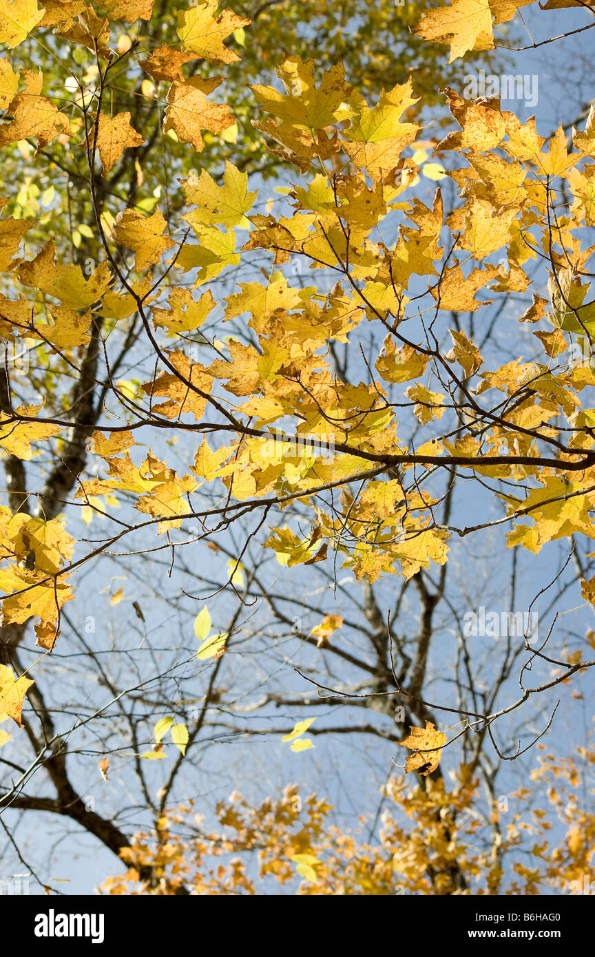 Colorful yellowl transparent leaves of maple tree - Stock Image