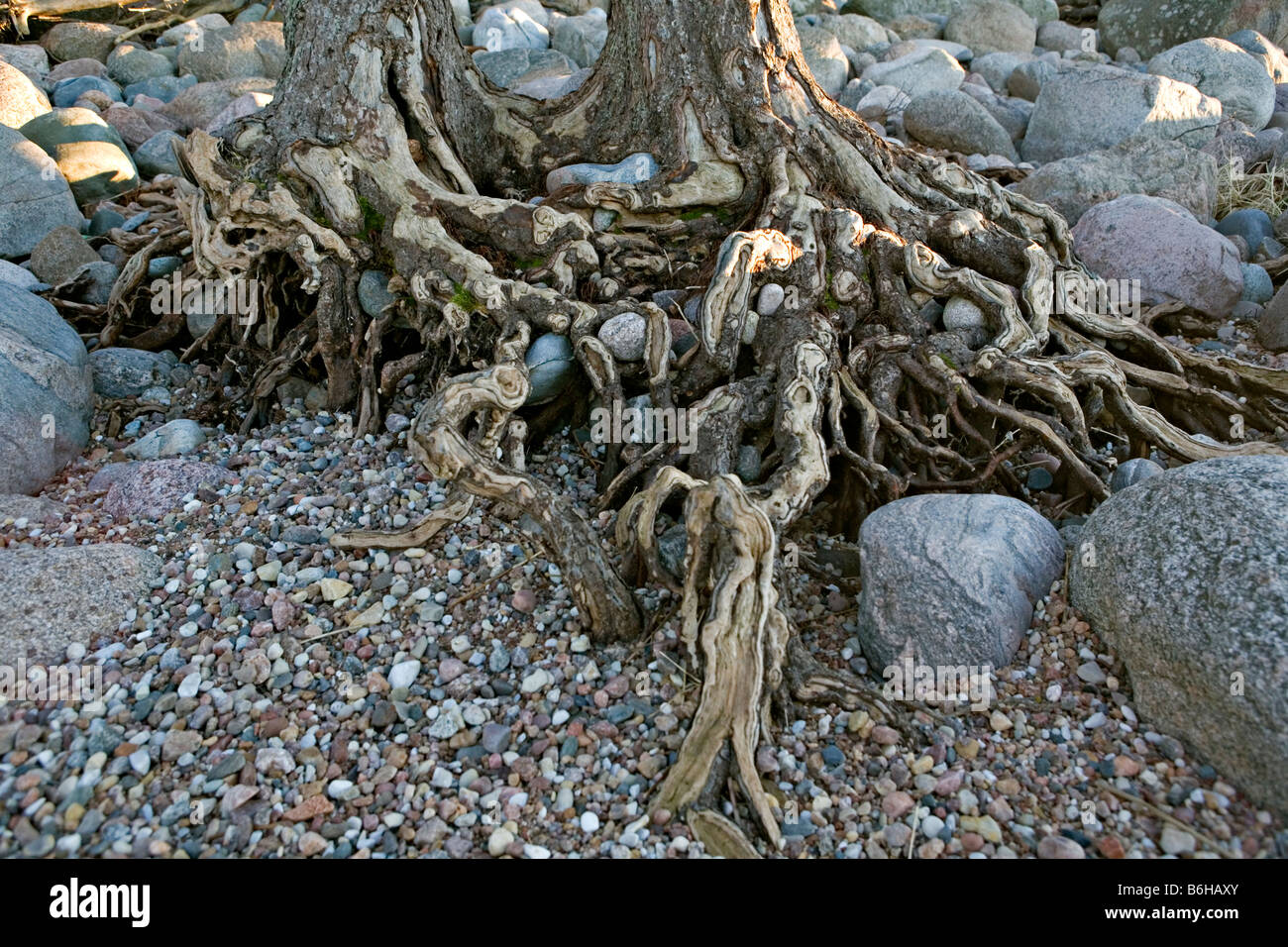 Damaged pine roots at Vidzeme coastline Baltic Sea Latvia Europe - Stock Image