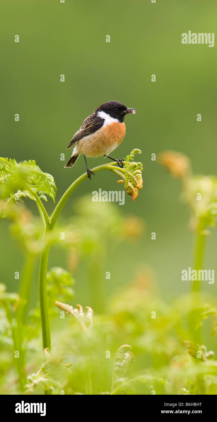 stonechat perched on bracken - Stock Image