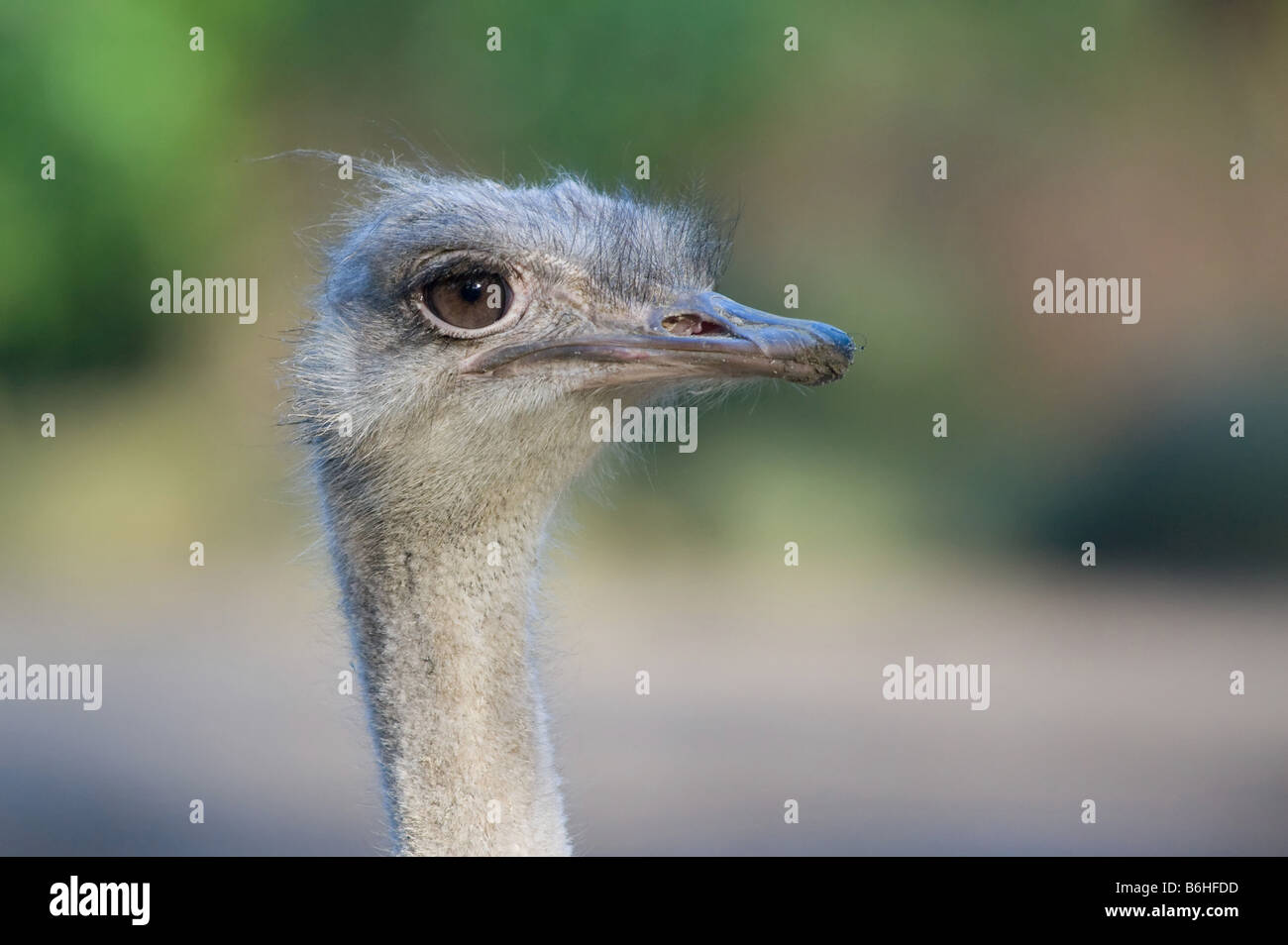 close up of an ostrich - Stock Image