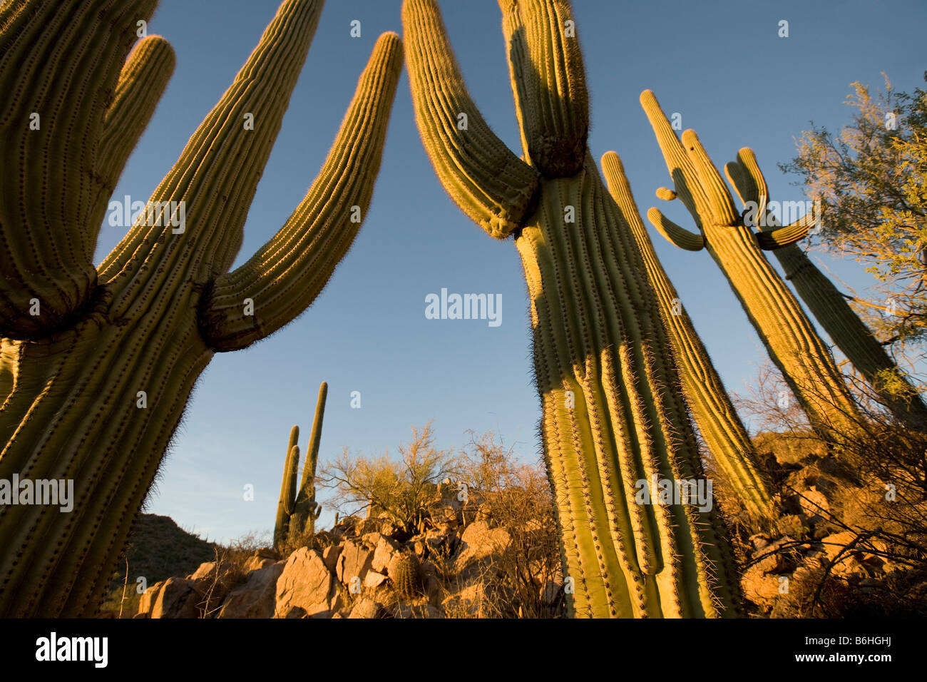 Giant Saguaros Saguaro National Park West Tucson Arizona - Stock Image