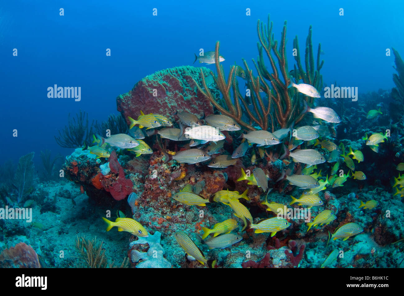 Coral Reef in South Palm Beach FL This reef is threatened by sewage dumping and beach renourishment projects - Stock Image