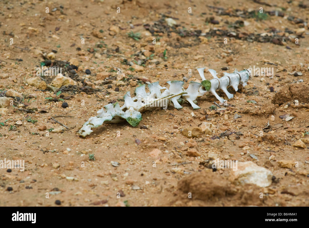 Animal skeleton laying in clay-type earth in Almansa, Spain, Europe - Stock Image
