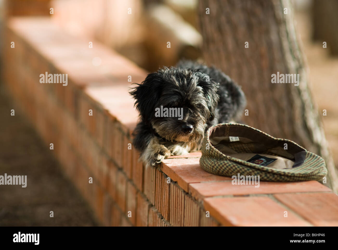 Dog laying in the sun in Spain peering at a Flat Cap - Stock Image