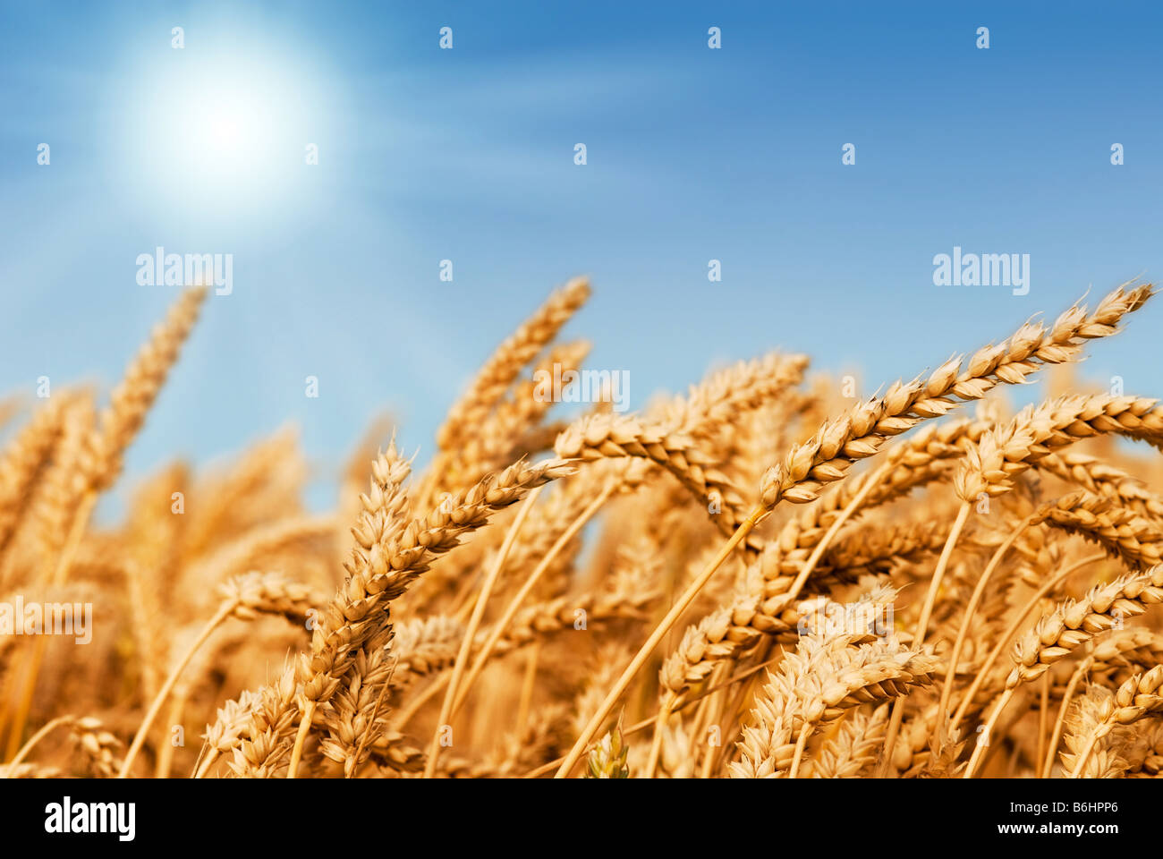Golden wheat field under a blue sky and sunshine Stock Photo