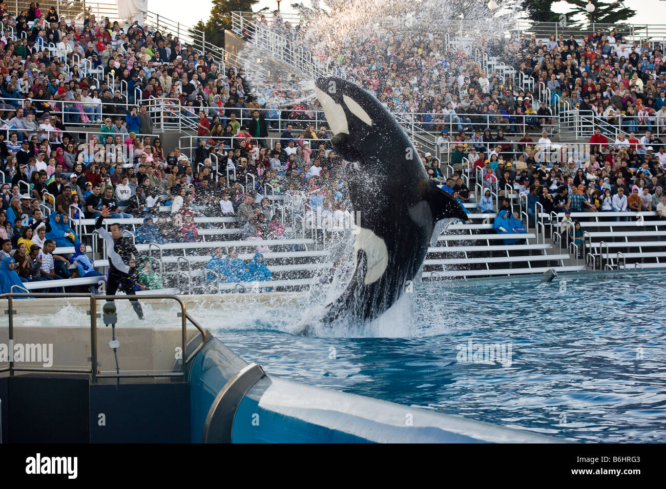 Orca or killer whale performance at Seaworld Mission Bay San Diego - Stock Image