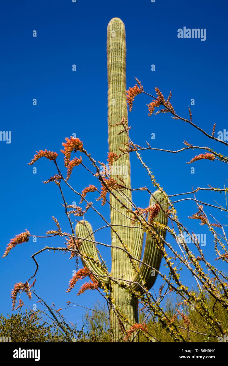 Saguaro cactus Arizona, United States - Stock Image