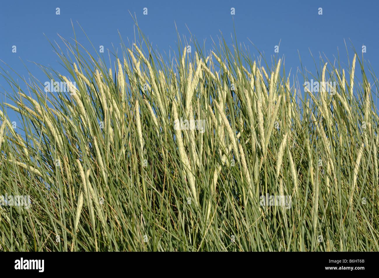 Marram grass Ammophilia Ynyslas dunes National Nature Reserve Ceredigion Wales UK Europe - Stock Image