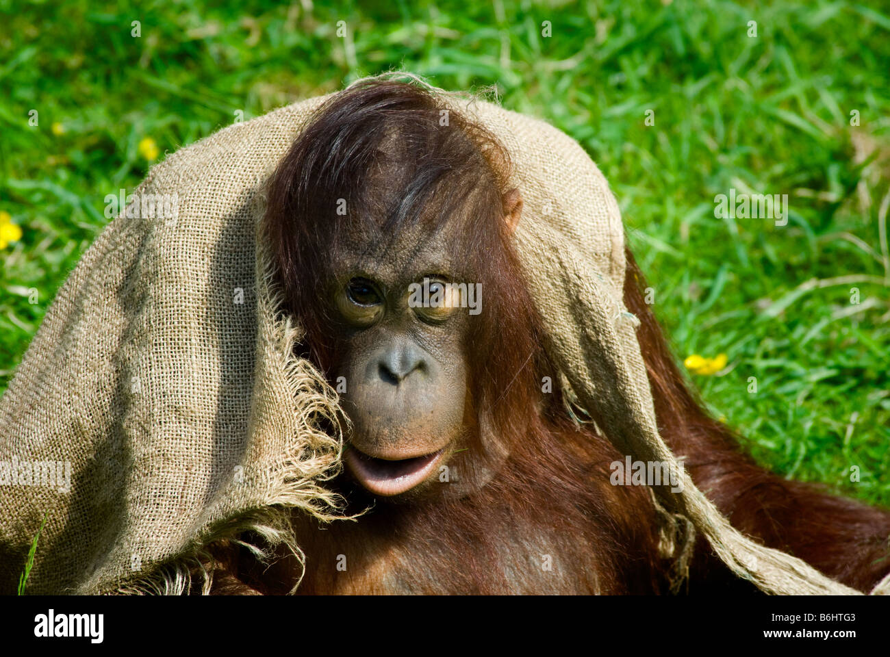 cute baby orangutan playing on the grass Stock Photo