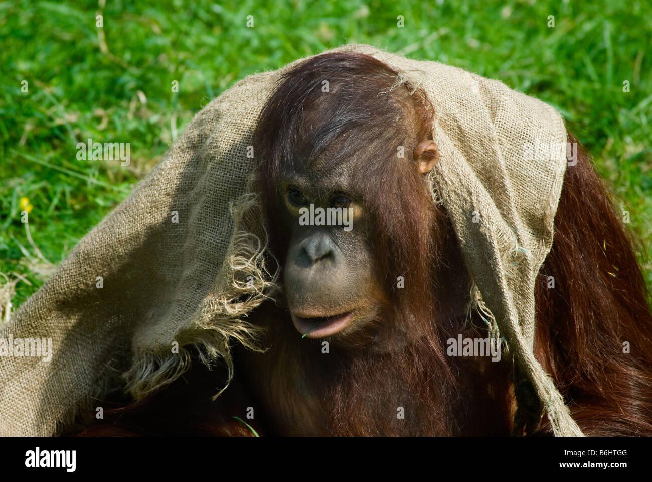 cute baby orangutan playing on the grass Stock Photo