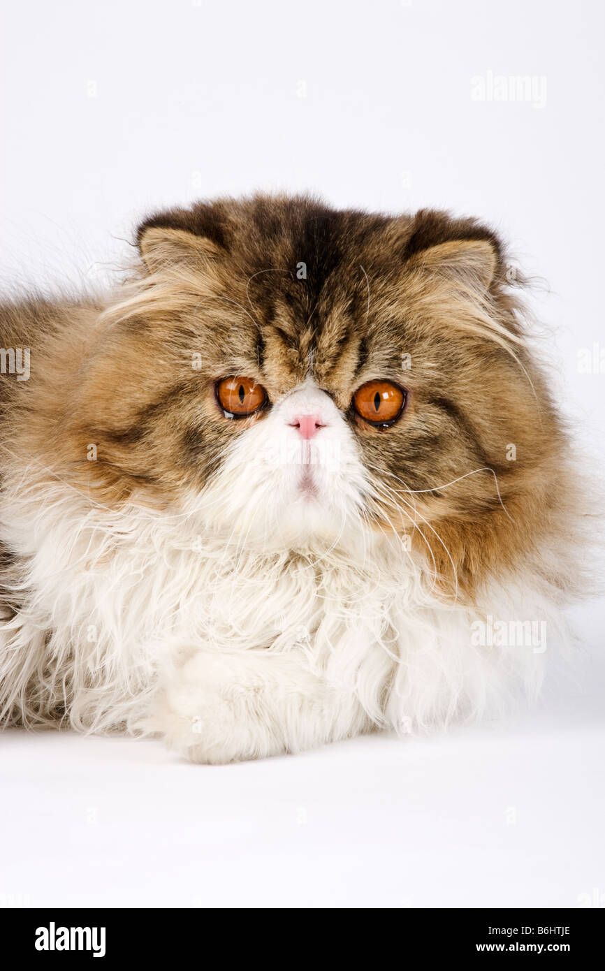 Domestic cat Calico Persian Tabby bi colour Studio shot against white back ground - Stock Image